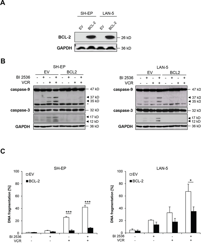 BCL-2 overexpression rescues BI 2536/VCR-induced apoptosis.