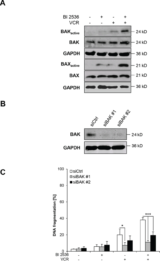 BI 2536/VCR-mediated activation of BAK and BAX is required for apoptosis.