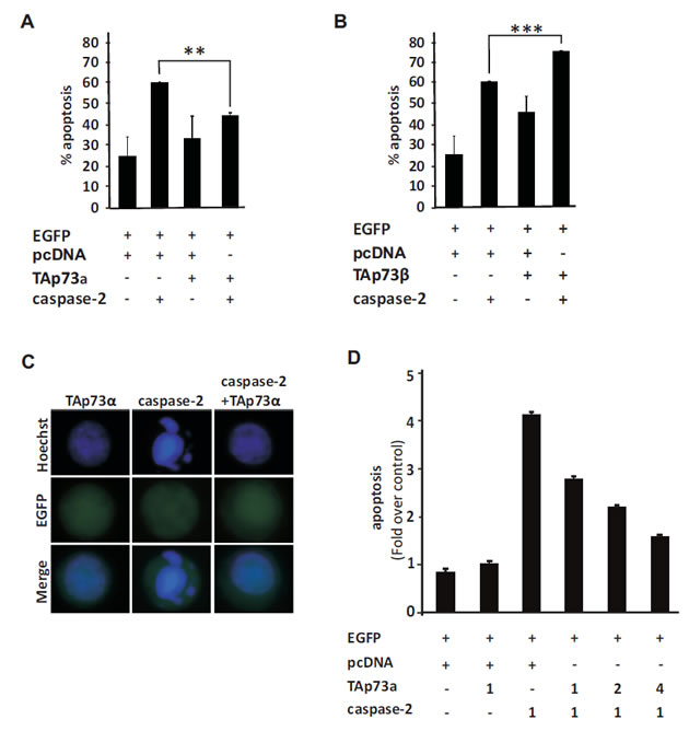 TAp73alpha inhibits apoptosis induced by caspase-2 over-expression in SCLC NCI-H82 cells.