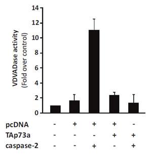 TAp73alpha expression inhibits caspase-2 activity.