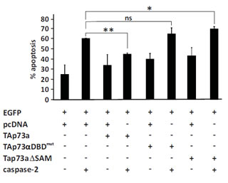 The DNA binding domain and SAM domain are required for TAp73alpha inhibition of caspase-2 induced apoptosis.