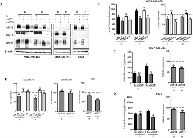 MCT knockdown impairs glycolytic metabolism and cell proliferation.