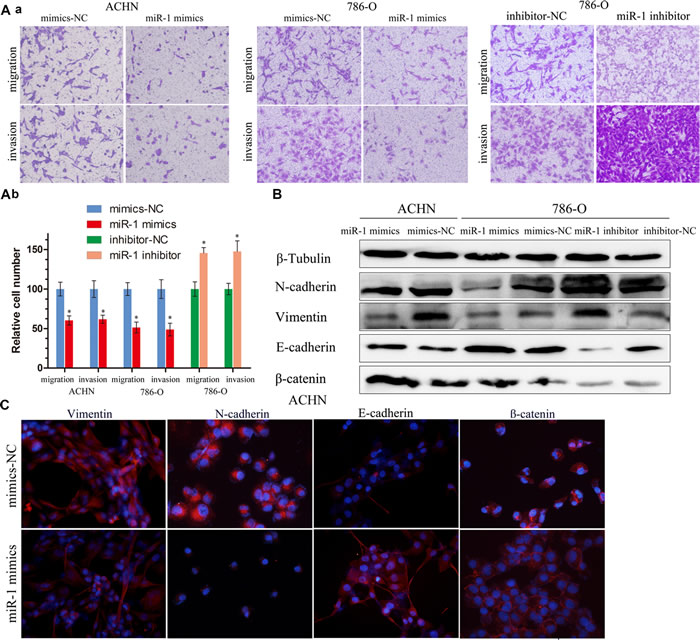 miR-1 attenuates ccRC cell migration and invasion.