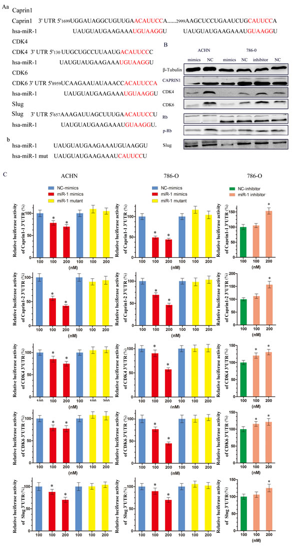 miR-1 targeted cell cycle regulators CDK4, CDK6, CAPRIN1 and metastasis related gene Slug.