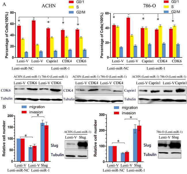 Target genes partly suppresses functions initiated by miR-1.