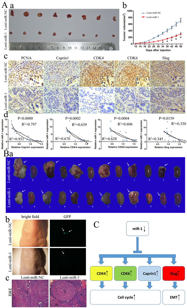 miR-1 inhibited ccRCC tumor growth in subcutaneously and orthotopic.