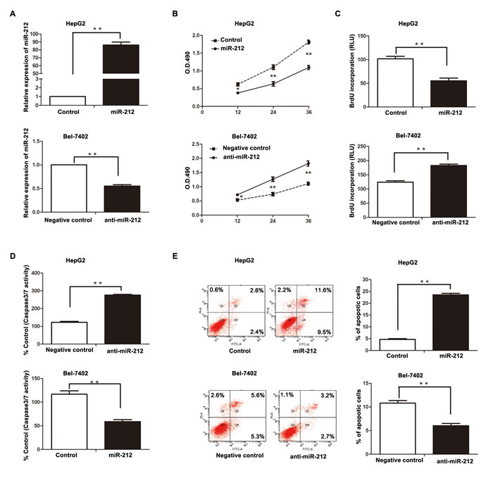 The effect of miR-212 on HCC cell proliferation and apoptosis.