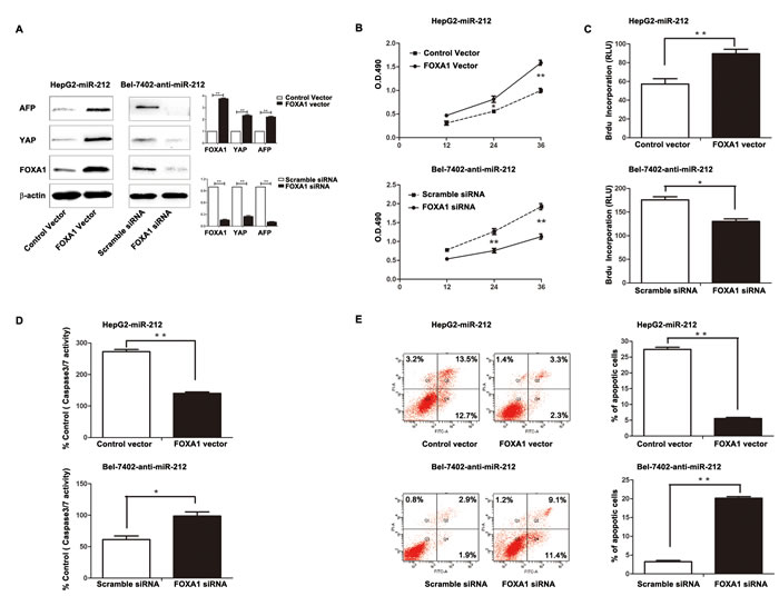 Altering FOXA1 expression partly abrogated the effect of miR-212 on HCC cells.