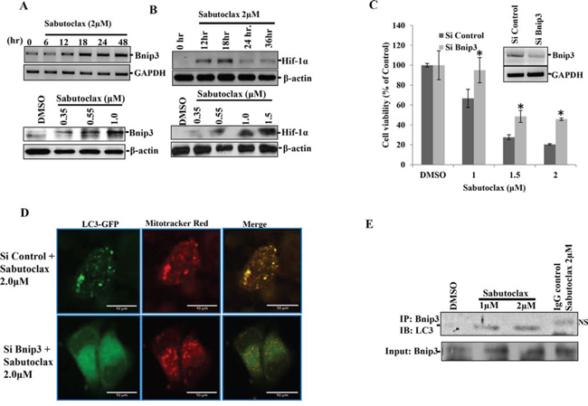 Sabutoclax induces Bnip3-mediated mitophagy in OSCC.