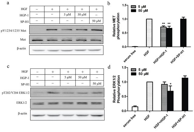 HGP-1 attenuated HGF-mediated phosphorylation of MET and downstream signaling.