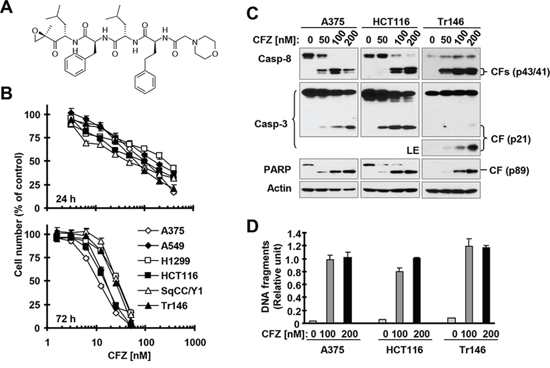 CFZ (A) effectively decreases the survival of cancer cells (B) and induces apoptosis (C and D)