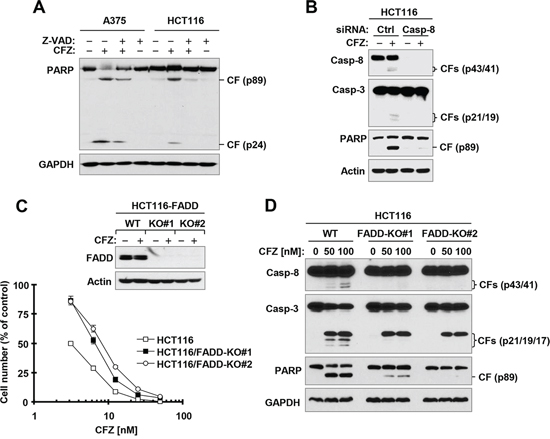Caspase inhibition (A) caspase-8 knockdown (B) or FADD deficiency (C and D) protects cancer cells from CFZ-induced apoptosis.