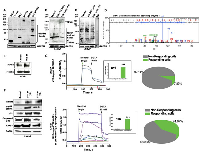 Ubiquitin-mediated proteolytic degradation of TRPM8 in an androgen-responsive LNCaP cells.