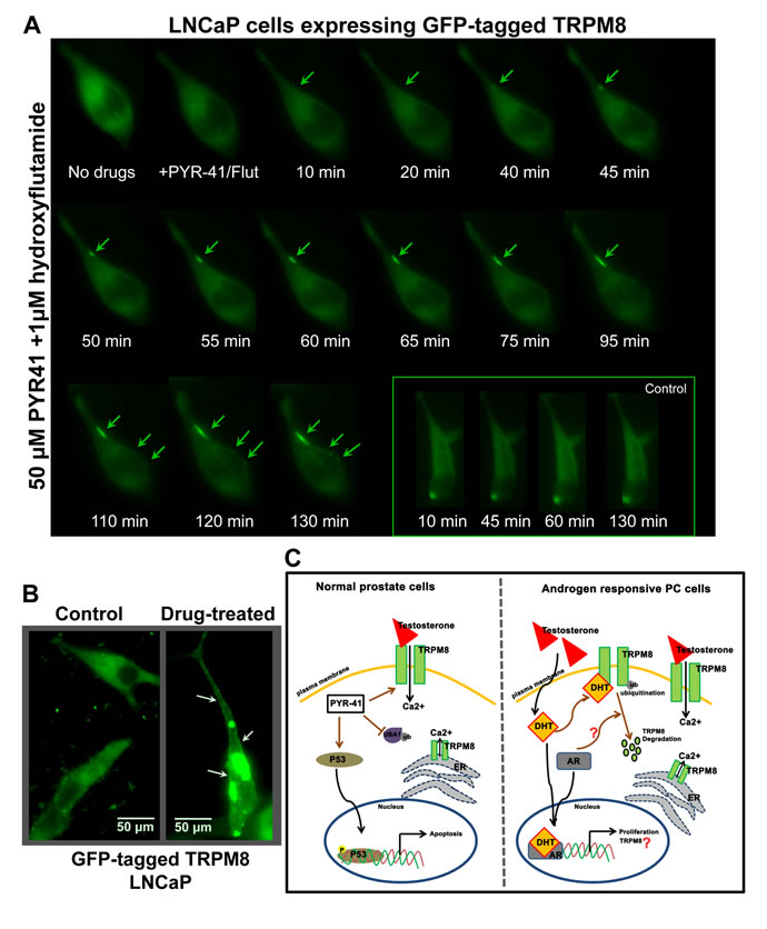Live-cell imaging for distribution of GFP-TRPM8.