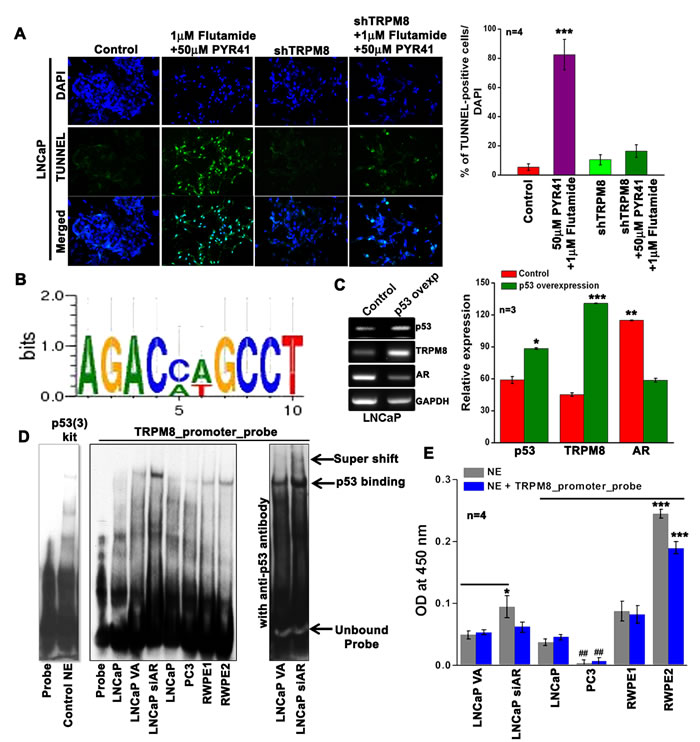 Inverse regulation of TRPM8 by AR and p53.