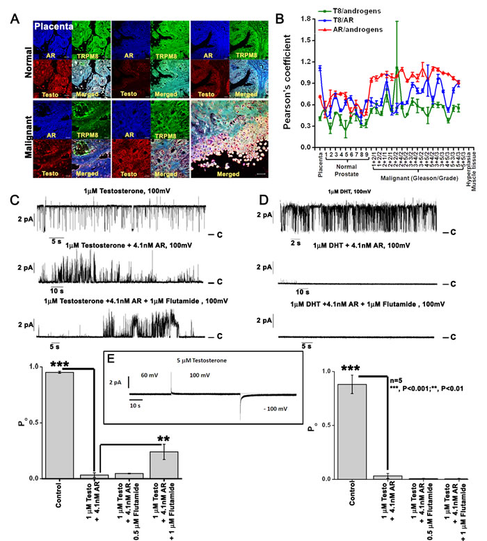TRPM8 protein is physically associated with androgen-AR proteins.
