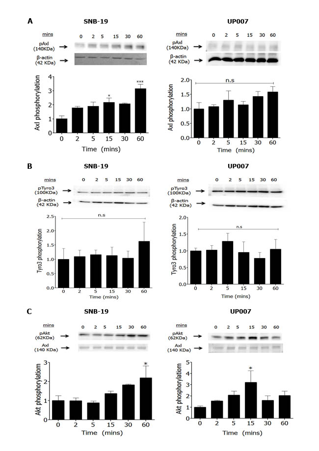 Effect of Gas6 stimulation on TAM phosphorylation and signalling in GBM cells.