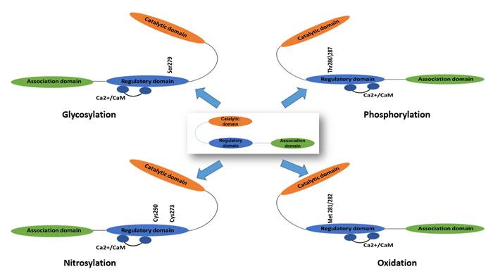 The activation mechanisms of Ca2+/calmodulin dependent protein kinase II (CaMKII).