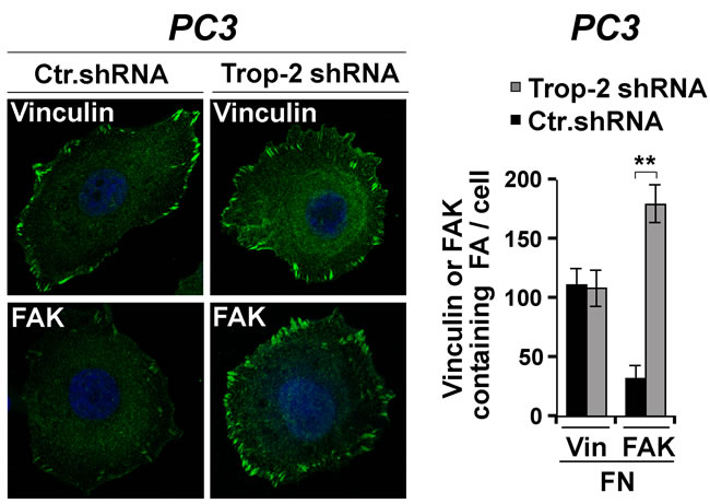 Trop-2-dependent modulation of FAK localization.