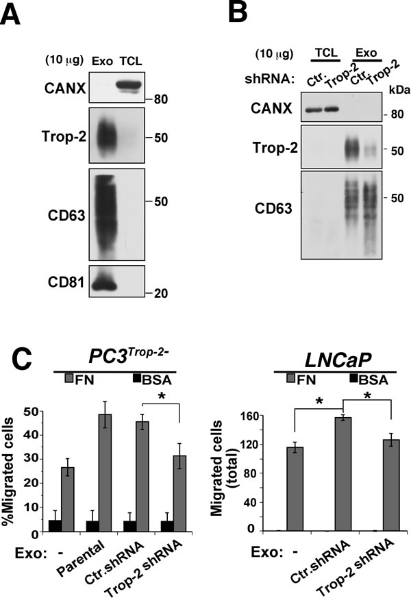 PC3 exosome uptake by PCa cells enhances cell migration on FN in a Trop-2-dependent manner.
