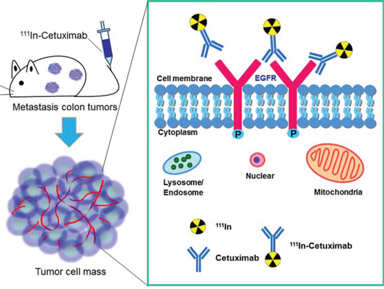 111In-Cetuximab synthesis, experimental design and EGF receptor image in human metastasis colorectal carcinoma.