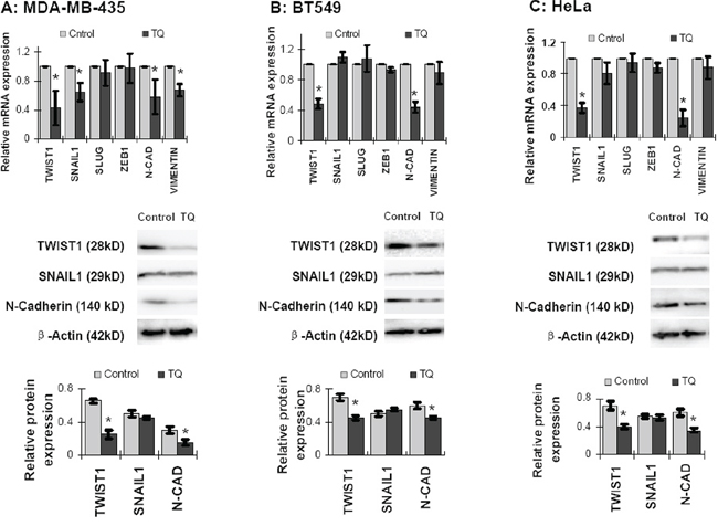 Effects of Thymoquinone (TQ) on mRNA and protein level expression of EMT associated proteins in cancer cells.