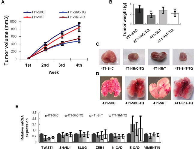 Inhibitions of Thymoquinone (TQ) on breast cancer model of mouse.