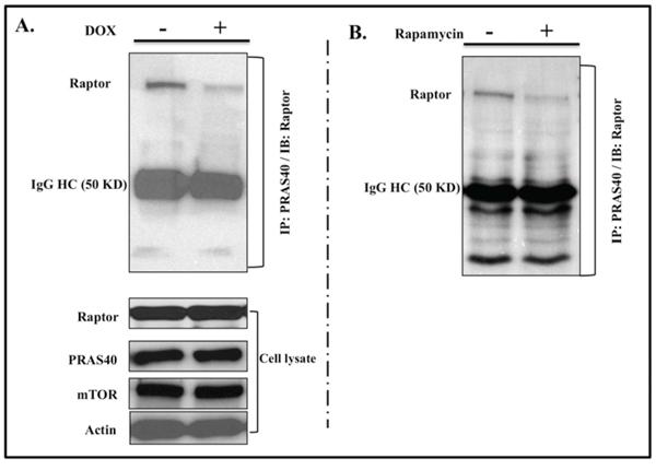 IL-24wt modulates PRAS40 and Raptor interaction.