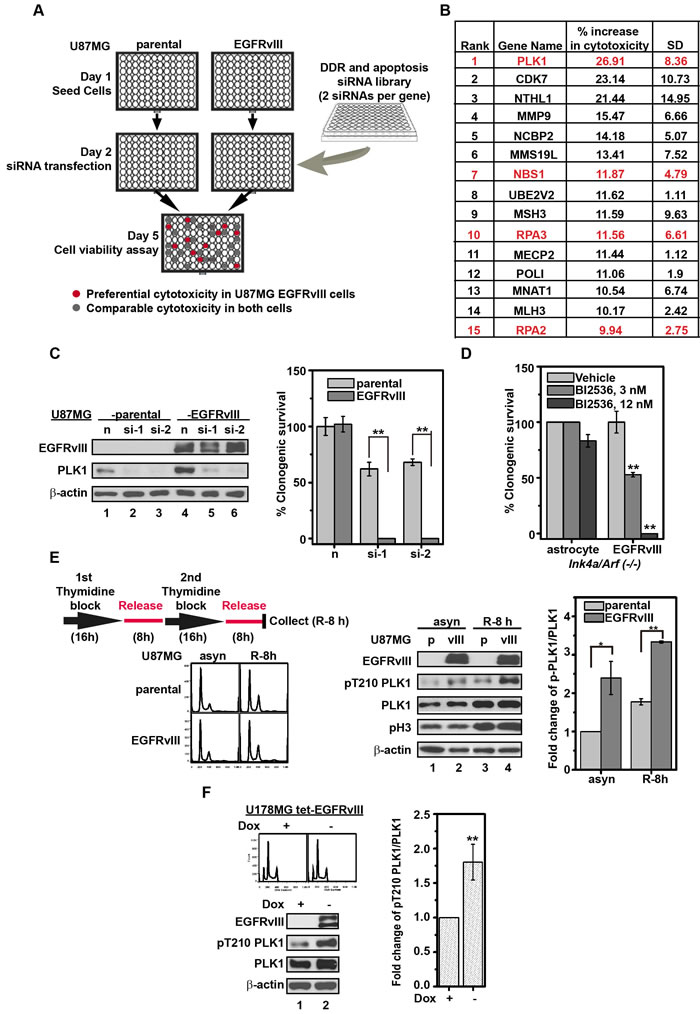 Silencing or inhibition of PLK1 is preferentially toxic to U87MG EGFRvIII cells.