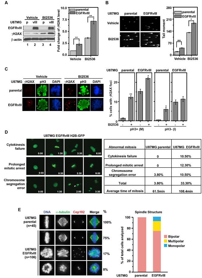 BI2536 treatment leads to increased DNA damage accumulation in U87MG EGFRvIII cells.