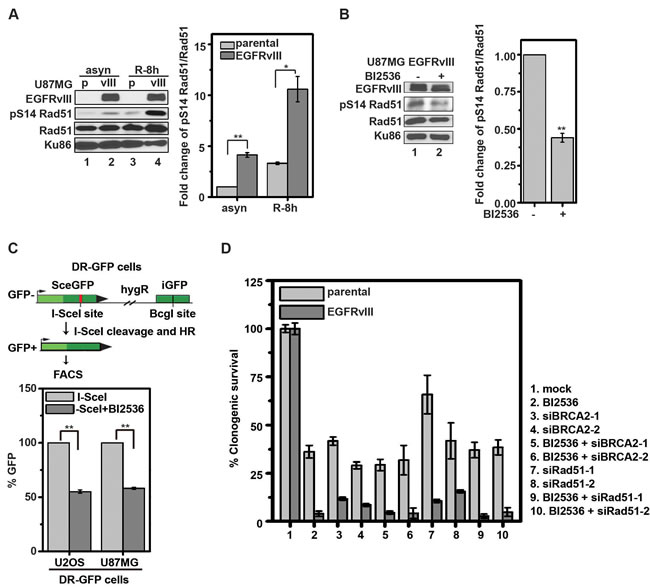 BI2536 inhibits phosphorylation of Rad51 S14 and compromises HR in glioblastoma cells.