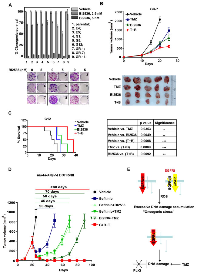 BI2536 inhibits tumor growth of EGFR inhibitor-resistant murine