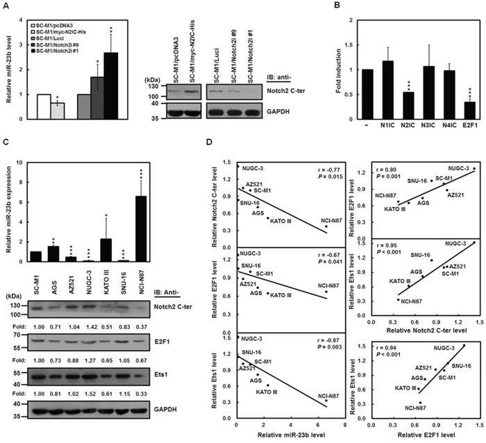 N2IC down-regulates miR-23b expression in gastric cancer cells.