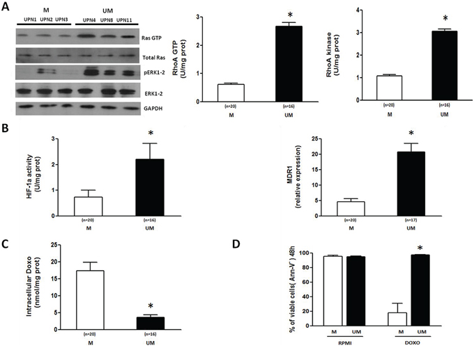 The Ras/ERK1–2 and RhoA/RhoA kinase signaling pathways and the HIF-1α/Pgp axis are more active in IGHV UM than M CLL cells.