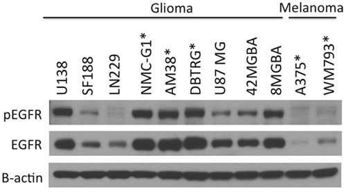EGFR is highly expressed and activated in glioma cells compared to melanoma cell lines.