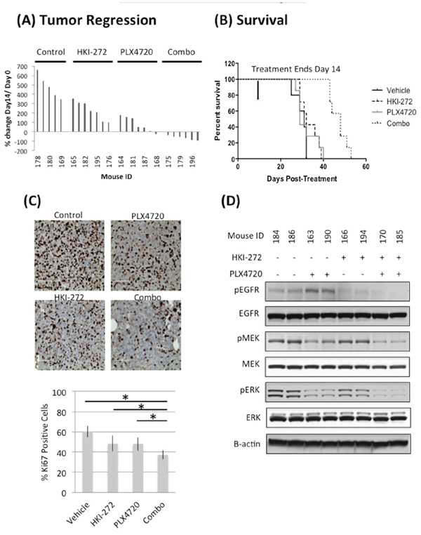 Combined inhibition of EGFR and BRAFV600E significantly reduces tumor growth A. and prolonged animal survival B. in a subcutaneous BT-40 xenograft model.