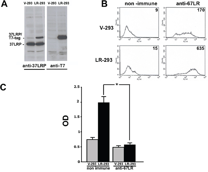37LRP cDNA transfection in HEK-293 cells results in cell surface expression of the mature receptor and increased cell adhesion to LM.