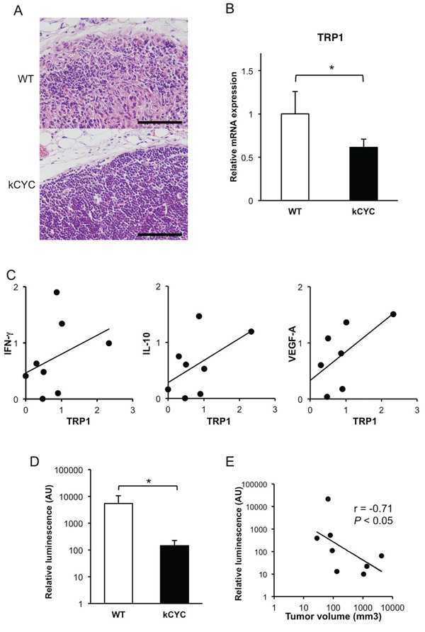 Less frequent tumor metastasis and decreased levels of tumor antigens in draining LNs of kCYC mice compared to wild-type (WT) mice.