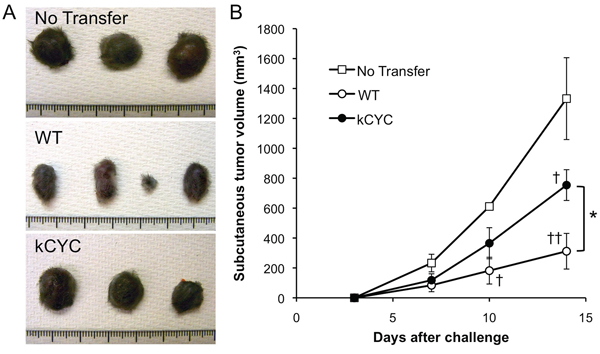 Tumor suppression of CD8+ T cells derived from kCYC mice is reduced when adoptively transferred to naive wild-type (WT) mice.