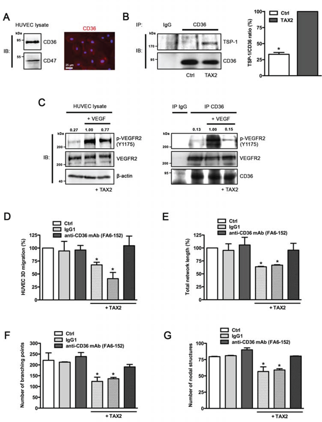 Anti-angiogenic properties of TAX2 are mediated by TSP-1 binding to CD36.