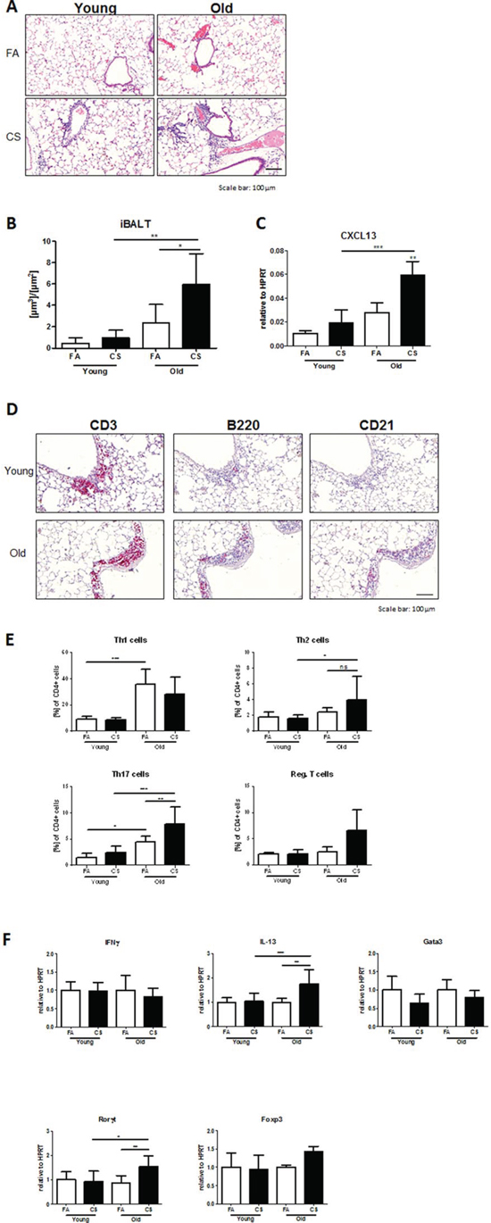 Development of iBALT is increased in aged CS-exposed mice and consists of T and B lymphocytes and follicular dendritic cells.