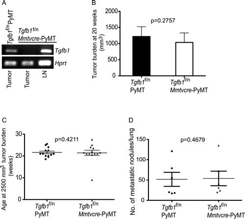 Absence of TGF-β1 produced by mammary tumor cells does not affect tumor growth.