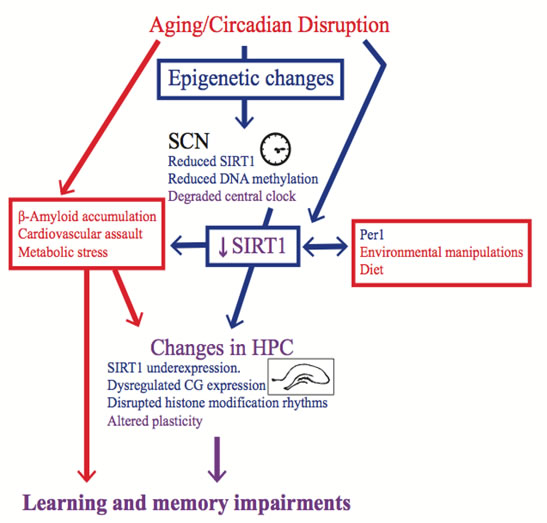 Epigenetic changes are a possible mechanism for the memory impairment induced by circadian rhythm disruption.