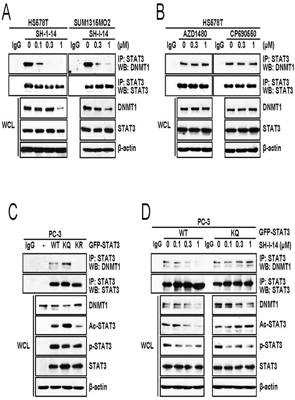 SH-I-14 disrupts the STAT3-DNMT1 interaction.