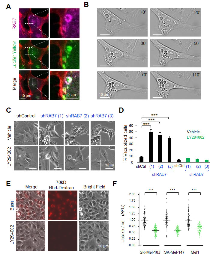 The pan-PI3K inhibitor LY294002 inhibits constitutive RAB7-regulated endosomal trafficking in melanoma cells.