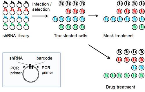 Schematic of the pooled shRNA screening methodology.