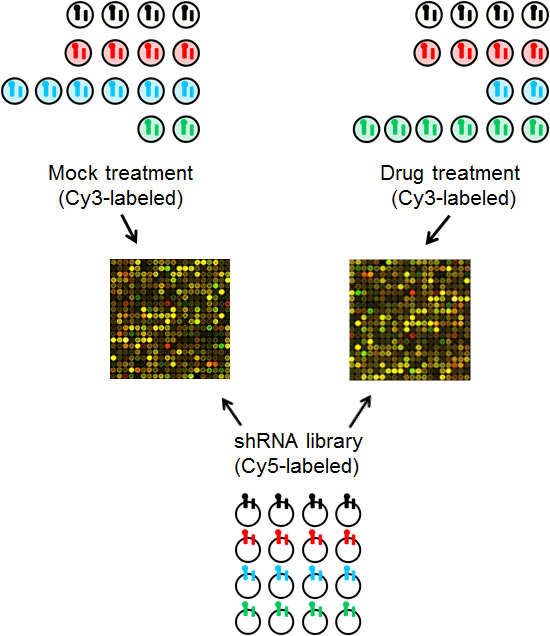 Schematic of the array protocol followed to readout the relative abundance of individual shRNAs following treatment.