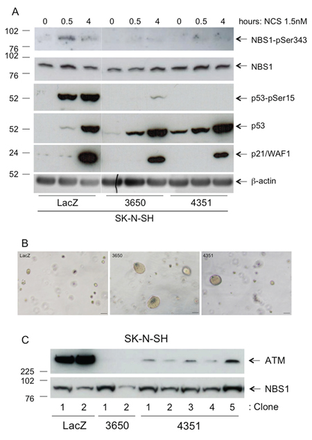 Characterization of SK-N-SH stable transfectants.