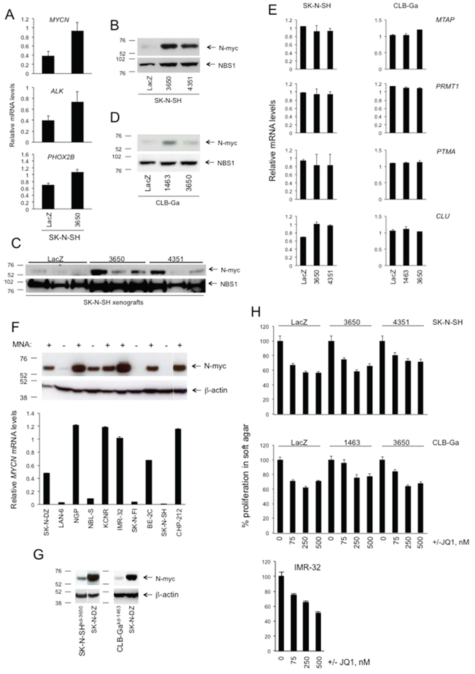 The effects of ATM silencing on SK-N-SH or CLB-Ga cells do not appear to require MYCN.