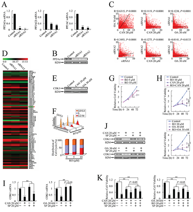 Identification of CDK1 as the target gene at the downstream of PP2A/JNK pathway upon treatment with PP2A inhibitors in PANC-1 cells.